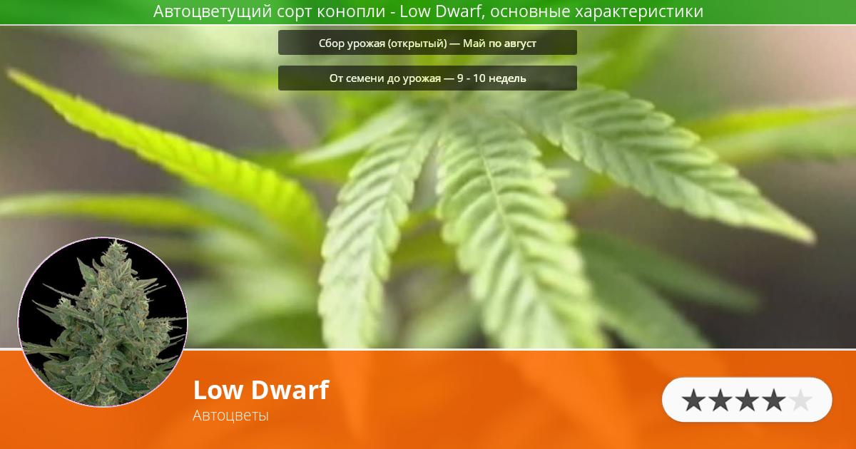 Инфограмма сорта марихуаны Low Dwarf