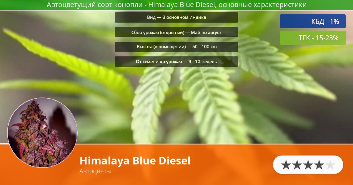 Инфограмма сорта марихуаны Himalaya Blue Diesel