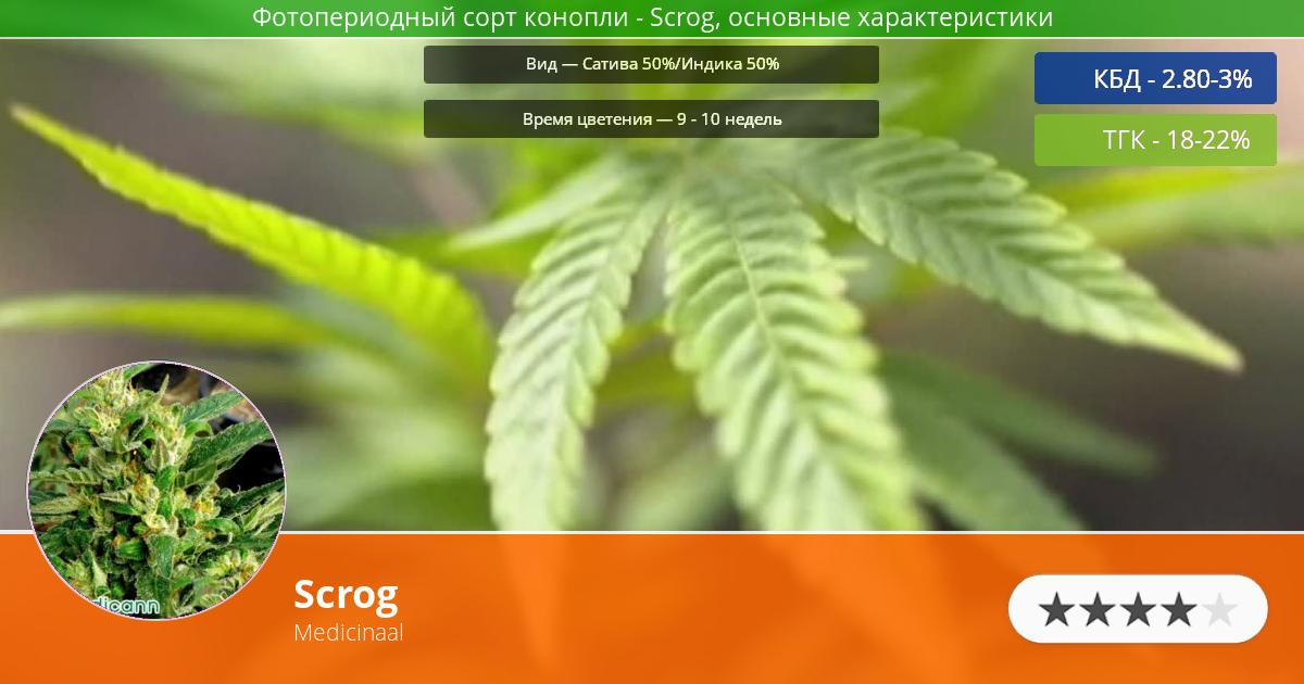 Инфограмма сорта марихуаны Scrog