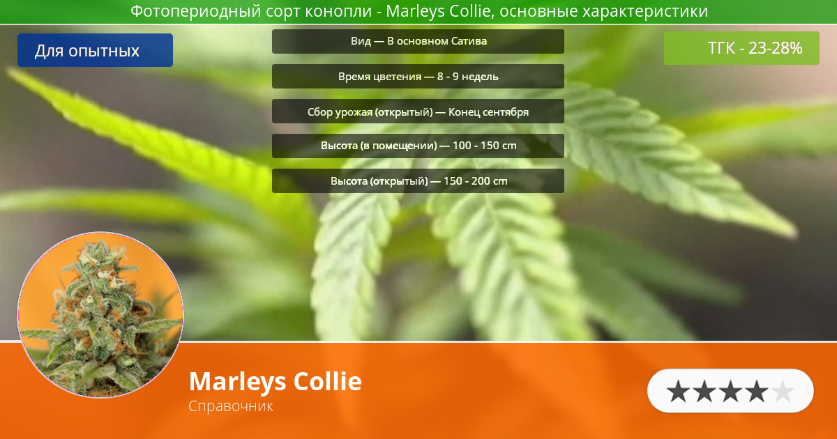 Инфограмма сорта марихуаны Marleys Collie