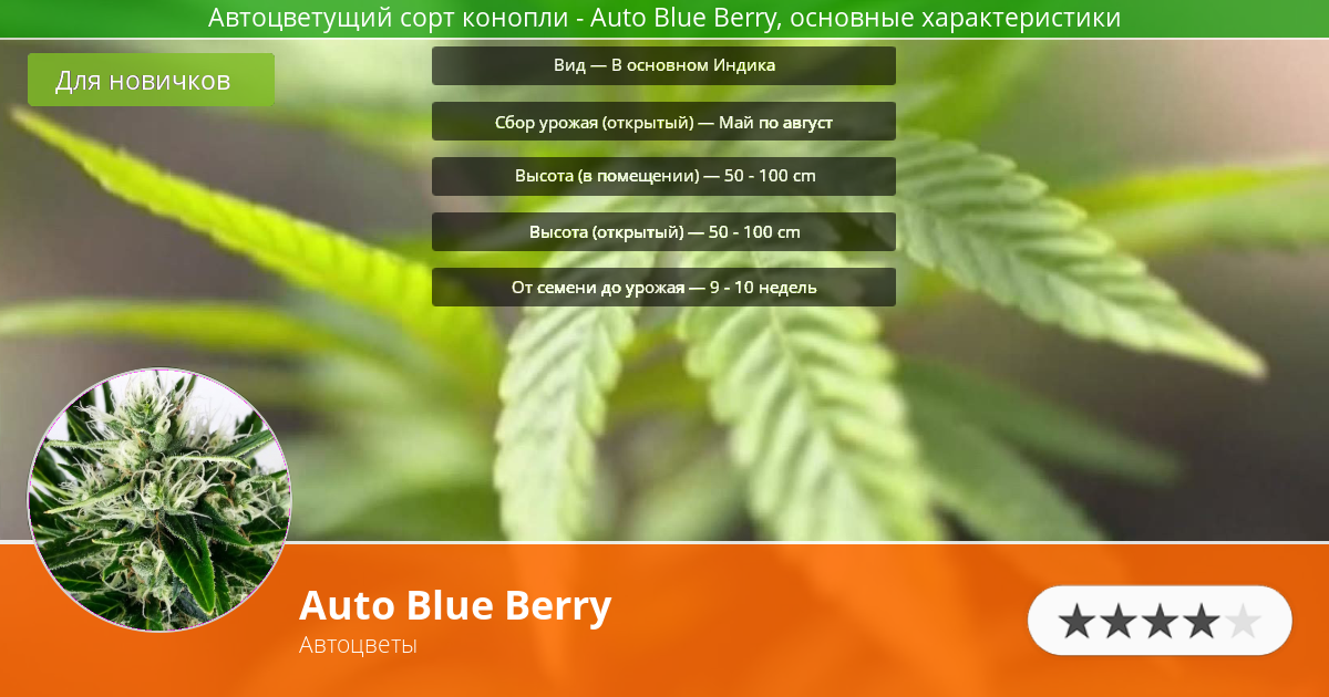 Инфограмма сорта марихуаны Auto Blue Berry