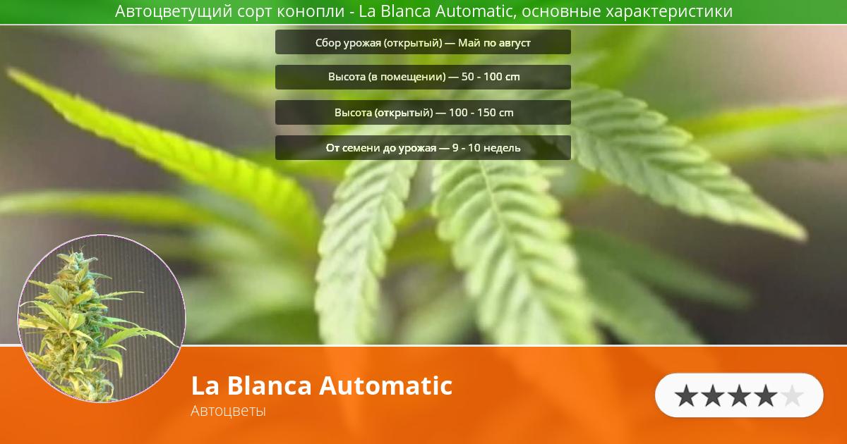 Инфограмма сорта марихуаны La Blanca Automatic