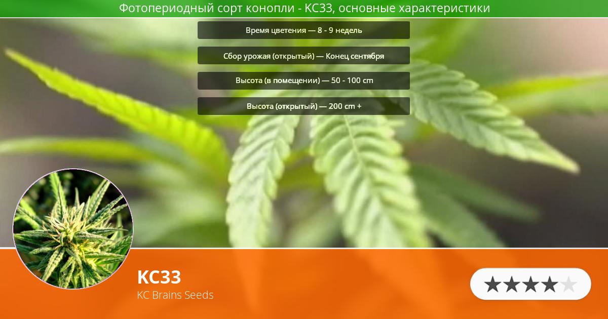 Инфограмма сорта марихуаны KC33