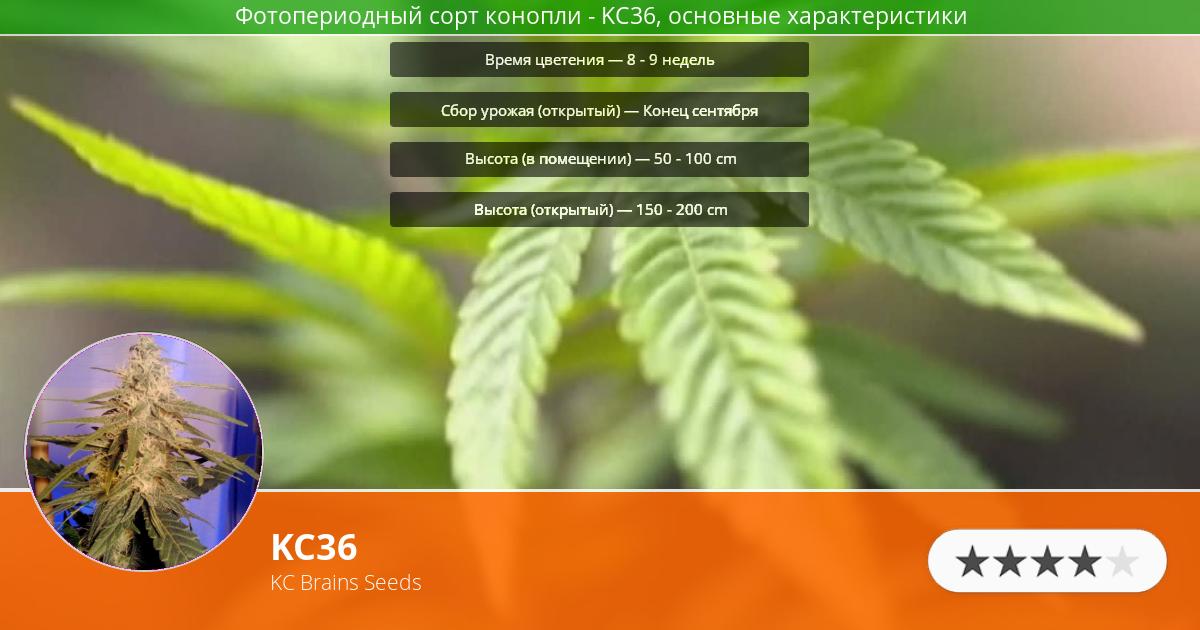 Инфограмма сорта марихуаны KC36