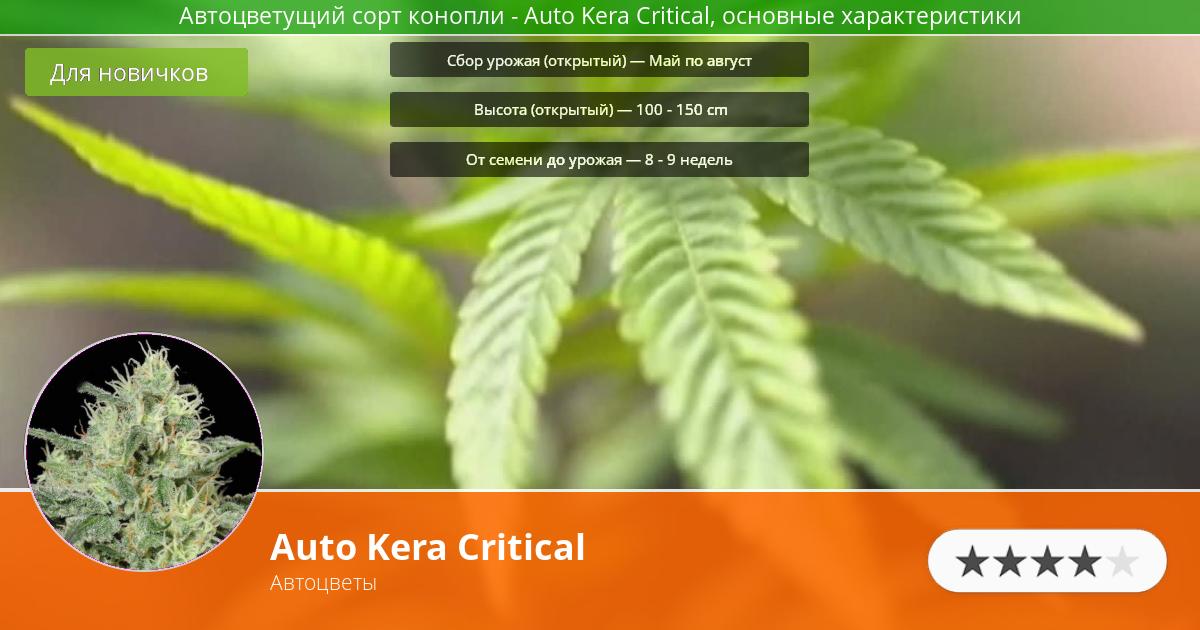 Инфограмма сорта марихуаны Auto Kera Critical