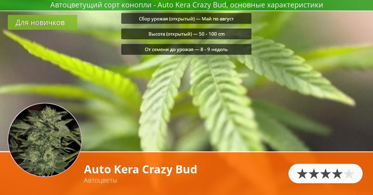 Инфограмма сорта марихуаны Auto Kera Crazy Bud