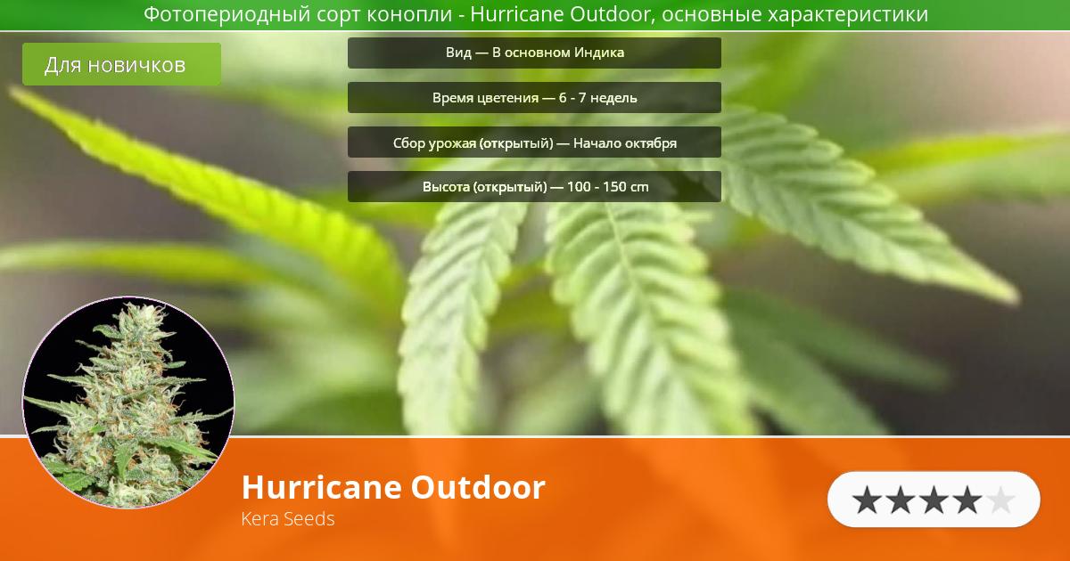 Инфограмма сорта марихуаны Hurricane Outdoor