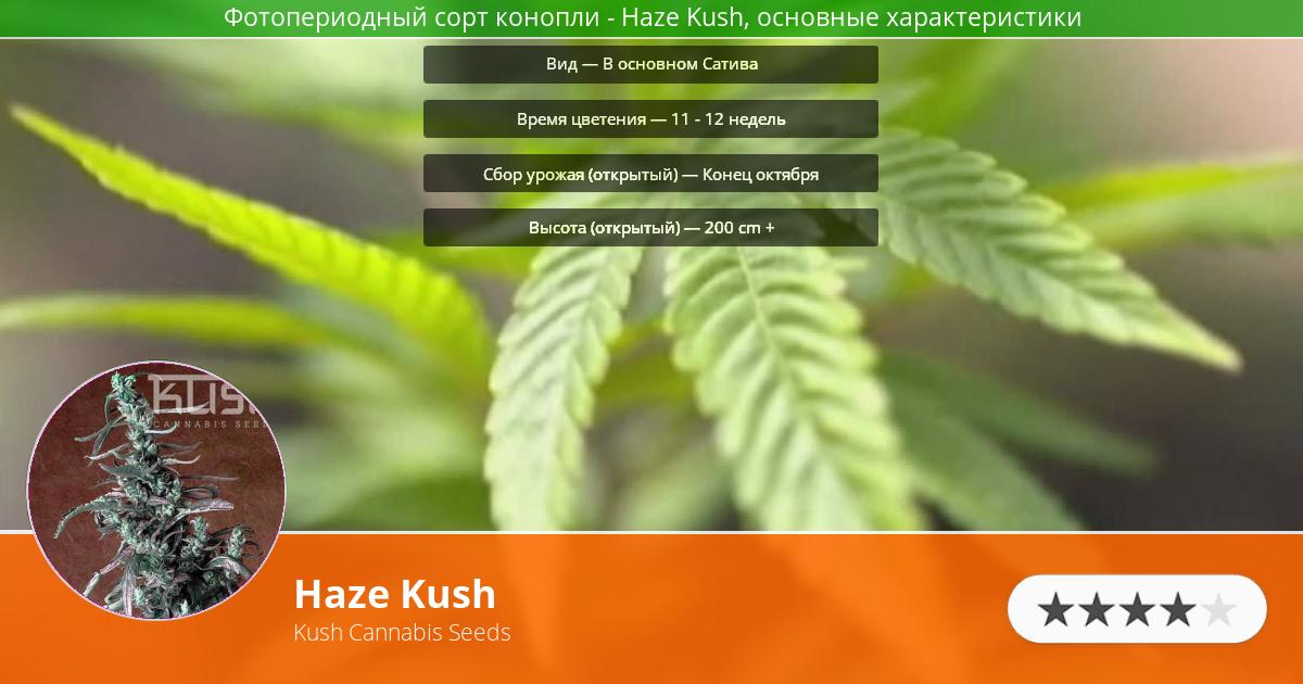 Инфограмма сорта марихуаны Haze Kush