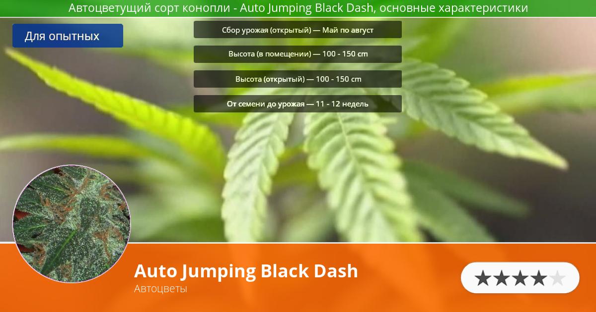 Инфограмма сорта марихуаны Auto Jumping Black Dash