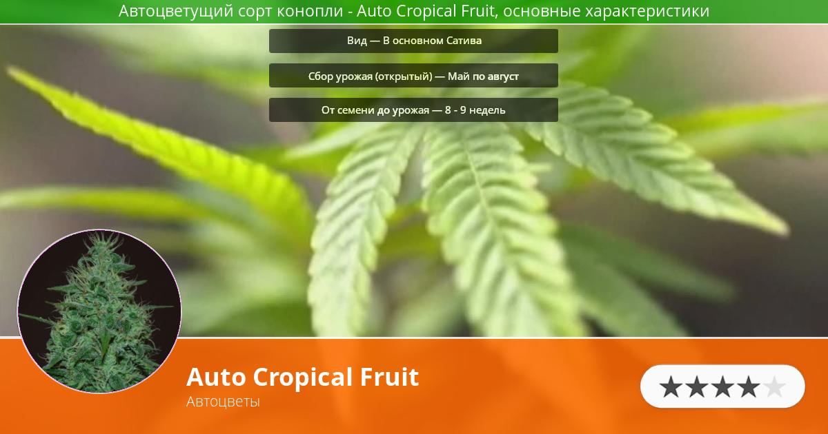 Инфограмма сорта марихуаны Auto Cropical Fruit