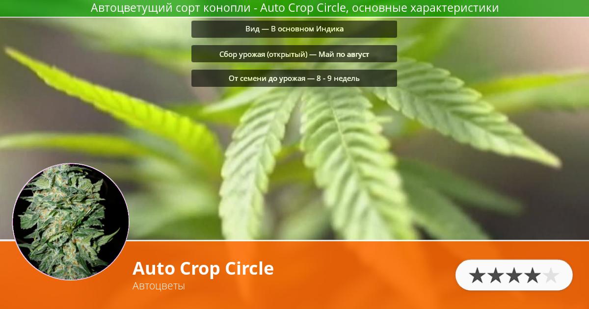 Инфограмма сорта марихуаны Auto Crop Circle