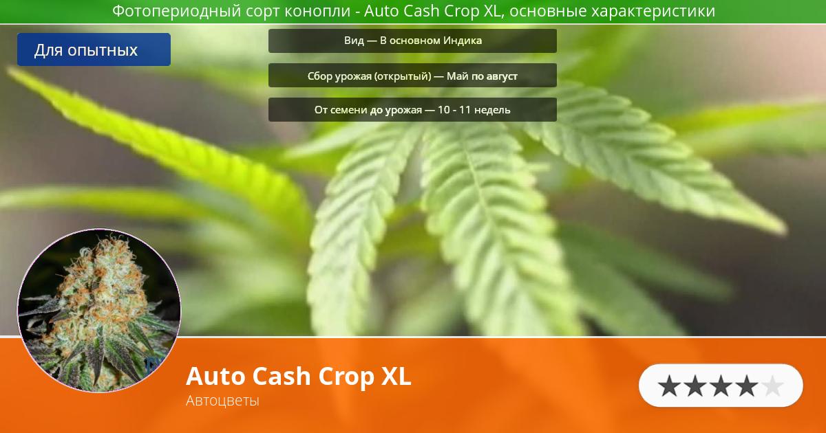 Инфограмма сорта марихуаны Auto Cash Crop XL