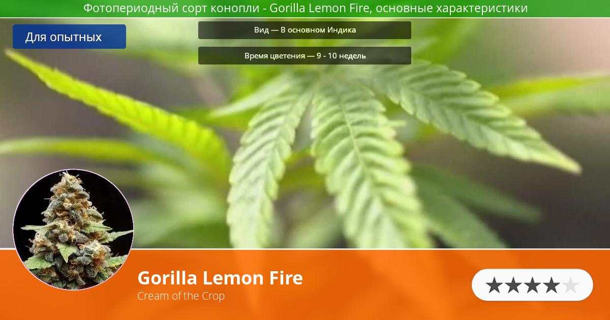 Инфограмма сорта марихуаны Gorilla Lemon Fire