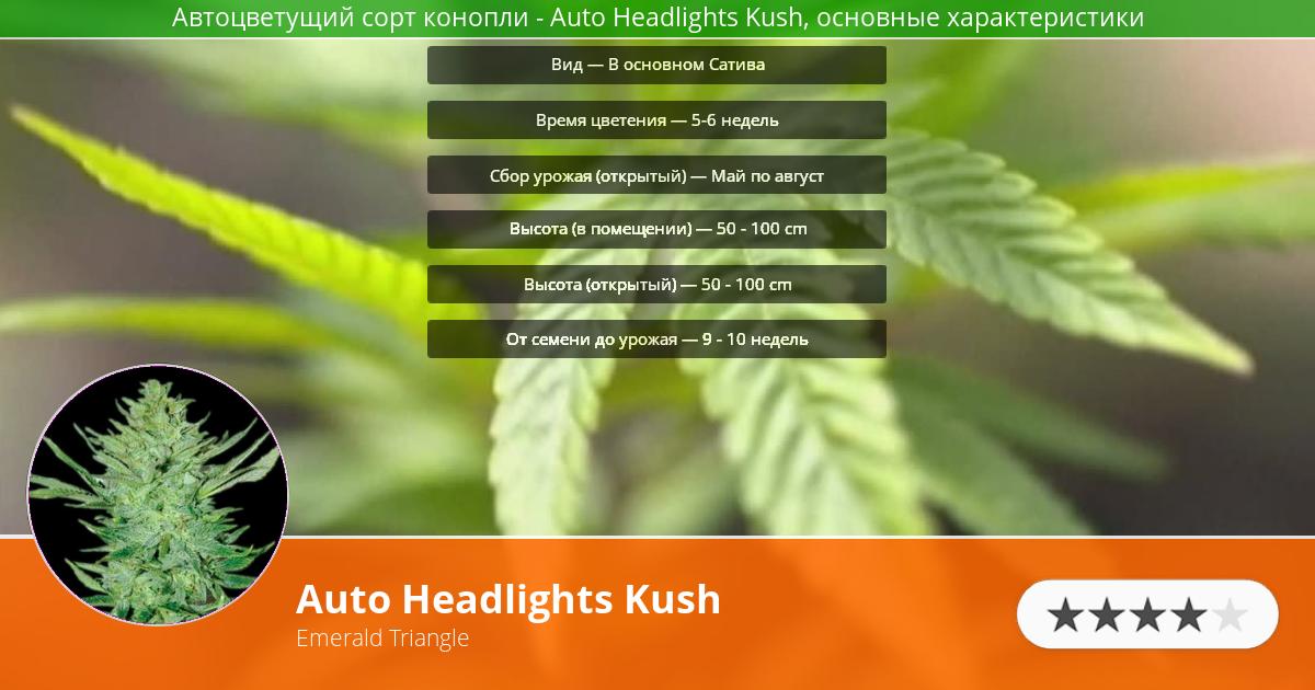 Инфограмма сорта марихуаны Auto Headlights Kush