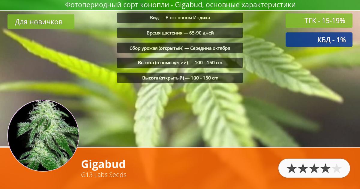Инфограмма сорта марихуаны Gigabud