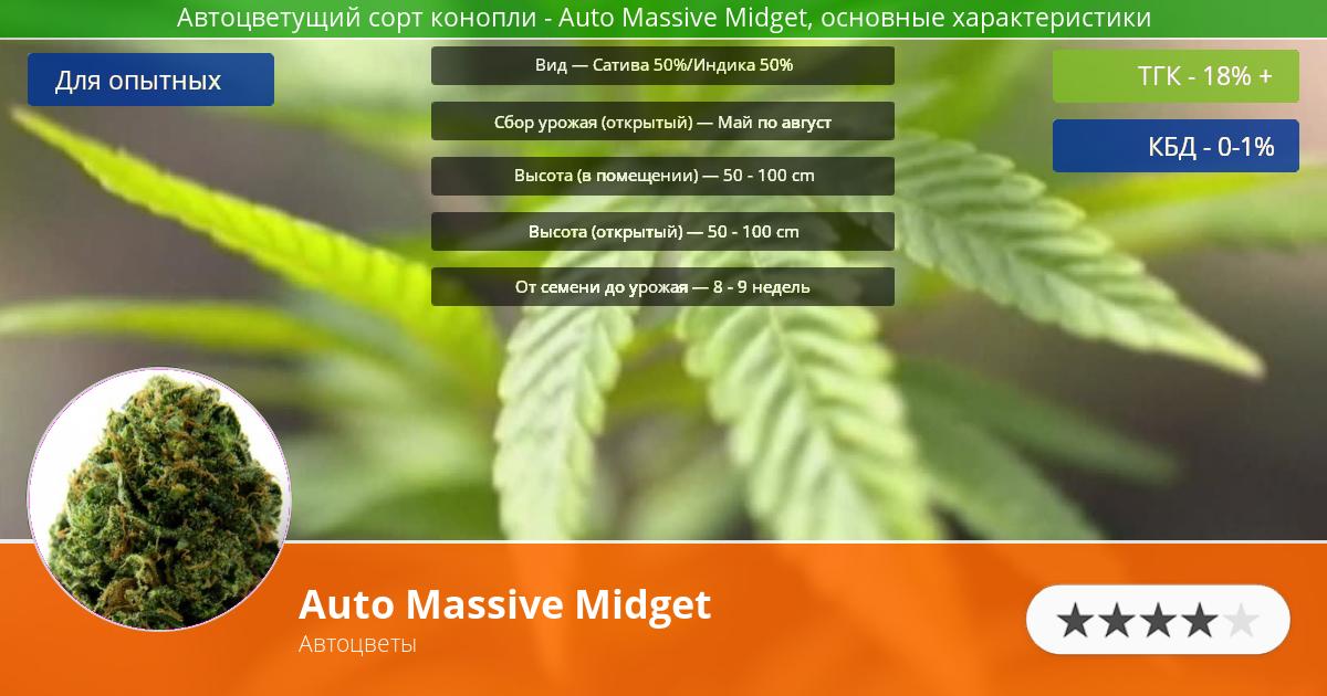 Инфограмма сорта марихуаны Auto Massive Midget