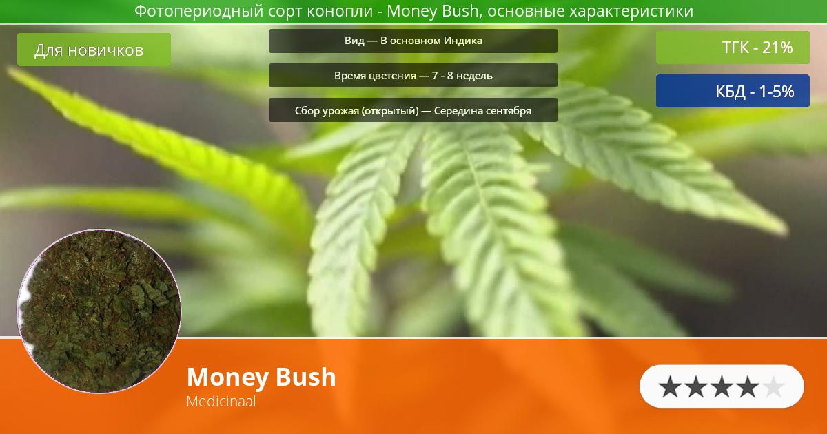 Инфограмма сорта марихуаны Money Bush
