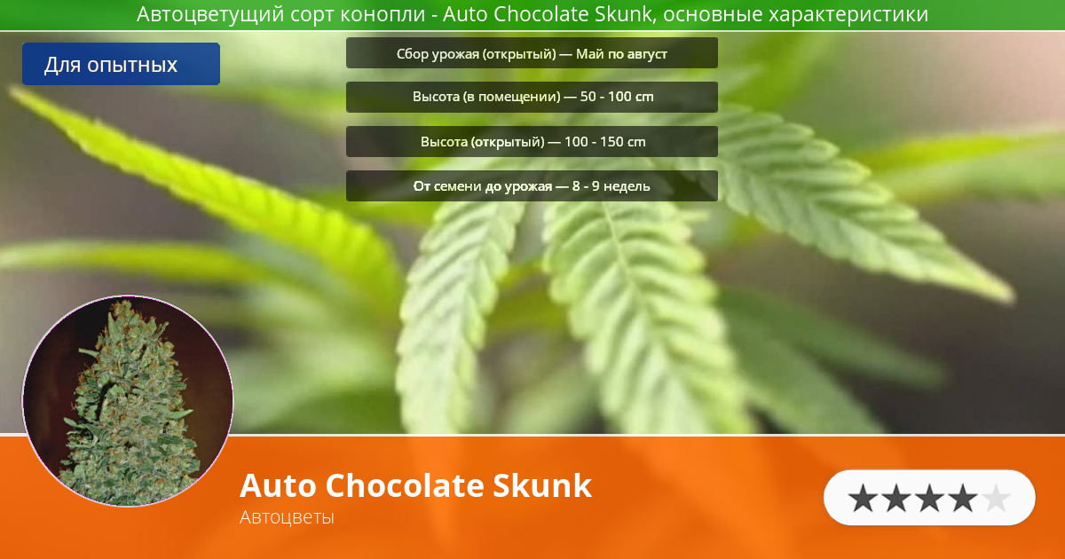 Инфограмма сорта марихуаны Auto Chocolate Skunk