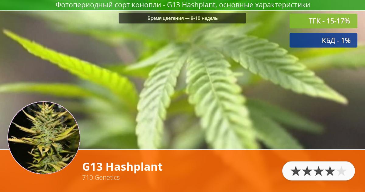 Инфограмма сорта марихуаны G13 Hashplant