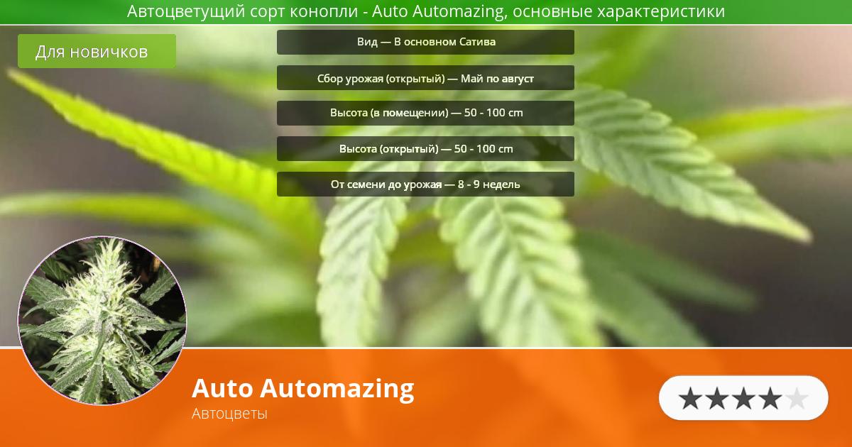 Инфограмма сорта марихуаны Auto Automazing