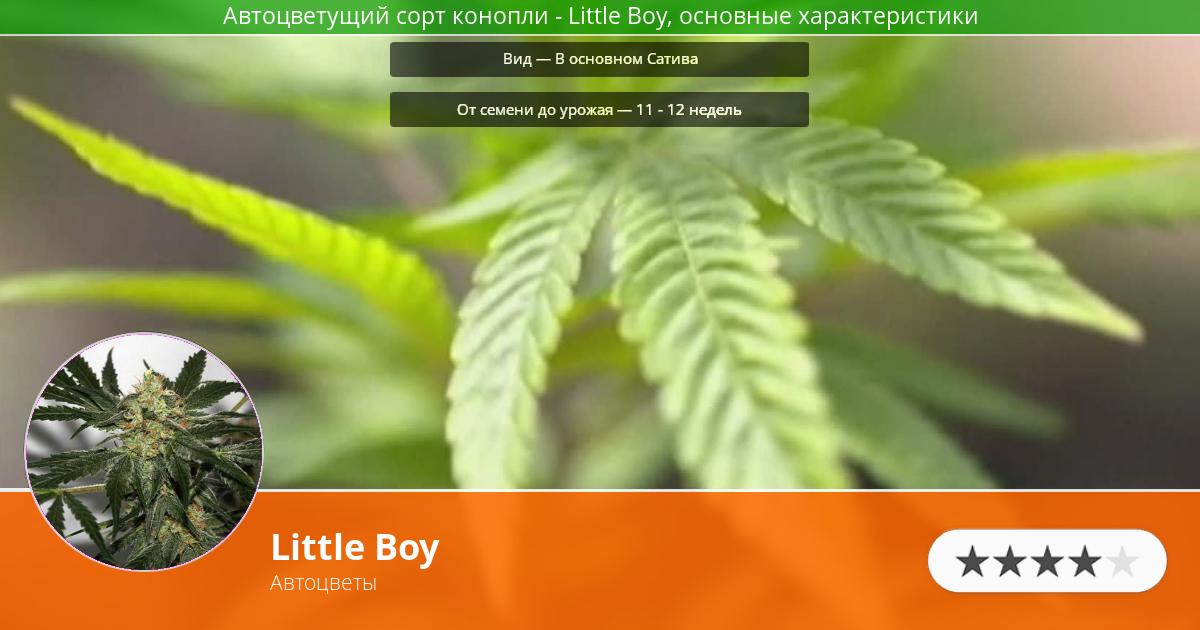Инфограмма сорта марихуаны Little Boy