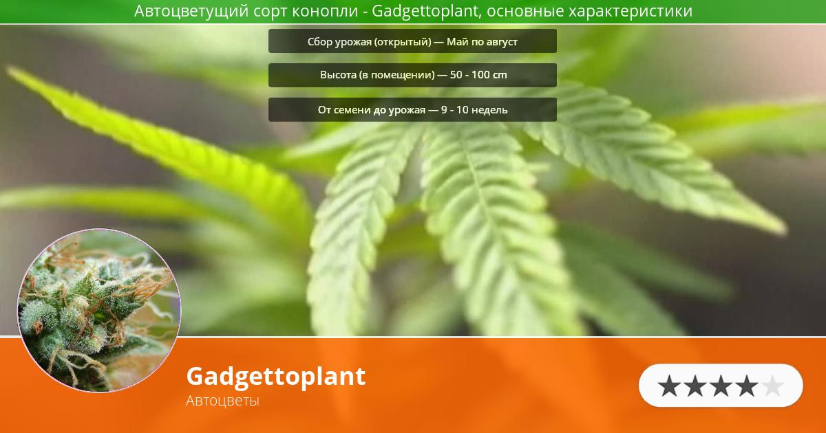 Инфограмма сорта марихуаны Gadgettoplant